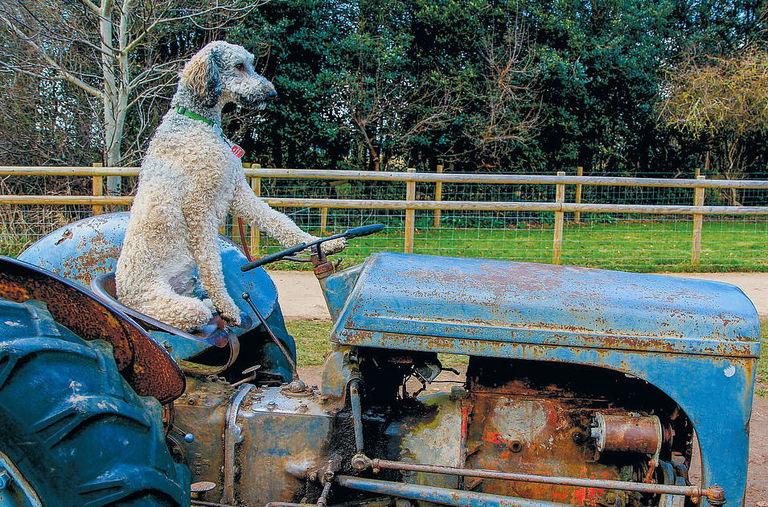 Dopo il cane pastore
